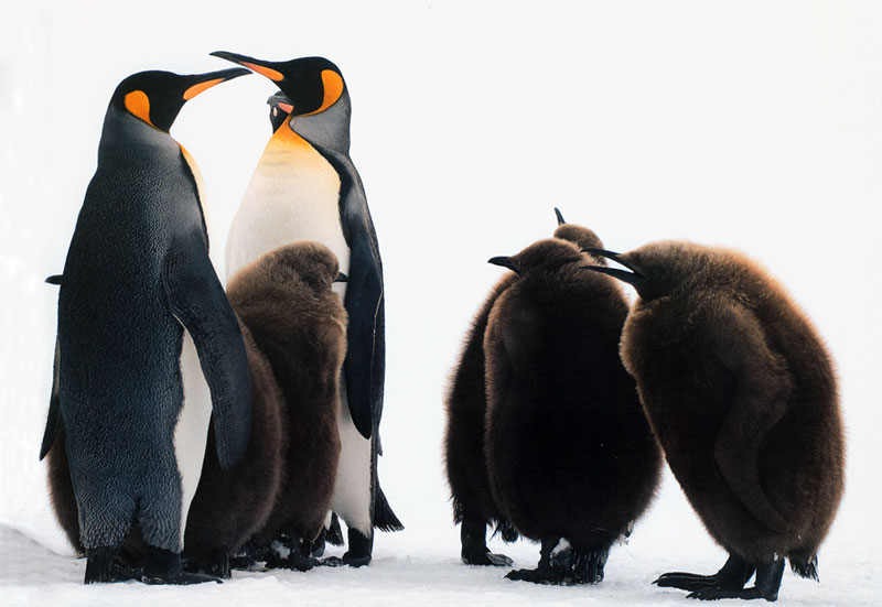 Penguin chicks.