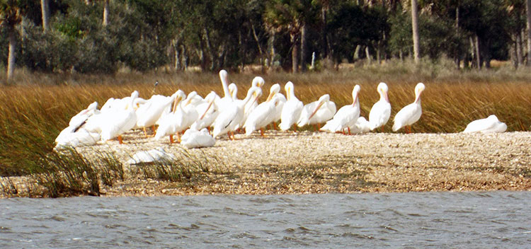 White pelicans in Florida.